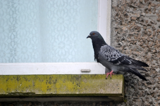 pigeongalway